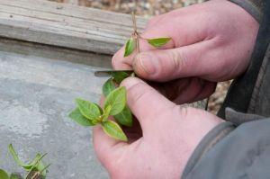 Нож окулировочный садовый SIERPOWY складной