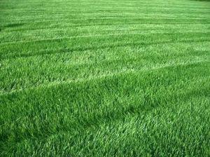 Трава для засушливых районов