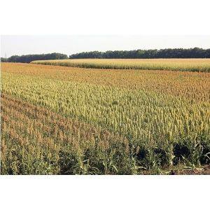Трава суданская
