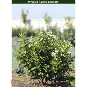Вейгела цветущая Candida (Кандида)