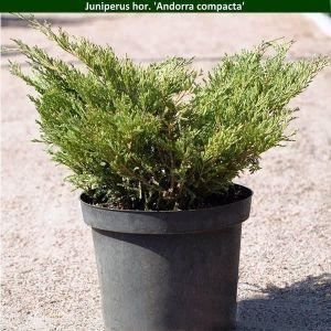 Можжевельник горизонтальный Andorra Compacta (Андорра Компакта) 15-20 см