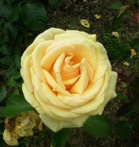 Роза Emmy (Эмми)