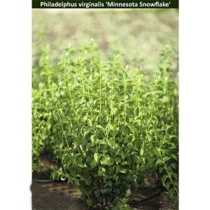 Чубушник виргинский Minnesota Snowflake (Миннесота Сноуфлейк)