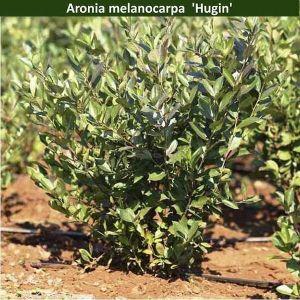 Арония черноплодная Hugin (Хугин)
