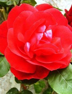 Роза Flame Dance (Флейм Денс)