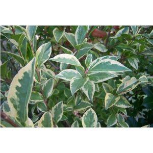 Бирючина овальнолистая Argenteum (Аргентум)