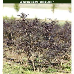 Бузина черная Black Lace (Блек Лейс)