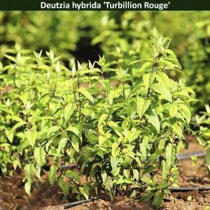 Дейция гибридная Turbillion Rouge (Тубилон Рудж)