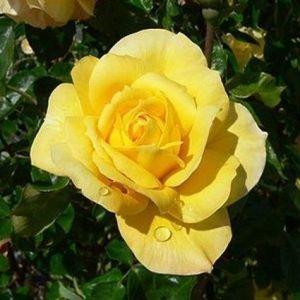 Роза Konsuella (Консуэлла)