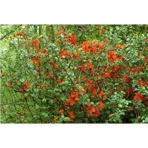 Хеномелес прекрасный Orange Trail (Оранж Трейл)