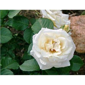 Роза Chopin (Шопен)