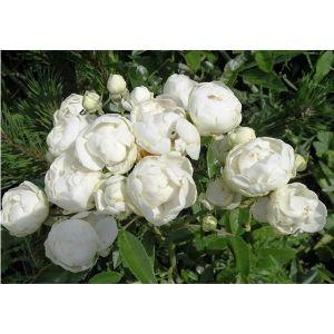 Роза Morsdag White (Морсдаг Уайт)
