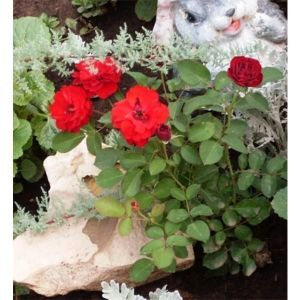 Роза Lilli Marleen (Лили Марлен)