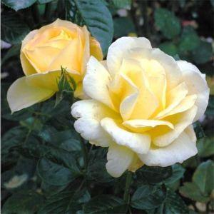 Роза Arthur Bell (Артур Белл)