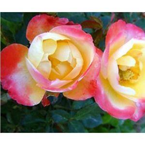 Роза New Star (Нью Стар)