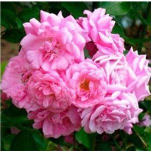 Роза Chaplins Pink (Чаплинз Пинк)