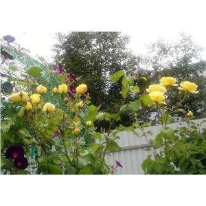 Роза Golden Showers (Голден Шауерз)