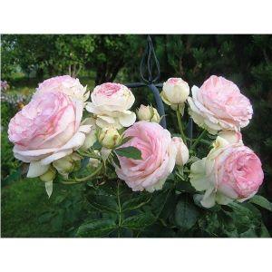 Роза Eden Rose (Иден Роуз)