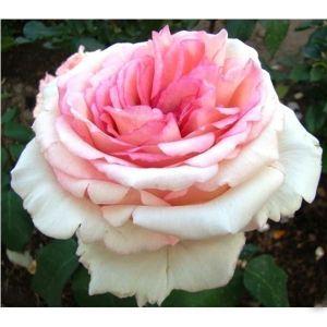 Роза Souvenir de Baden-Baden (Сувенир де Баден-Баден)
