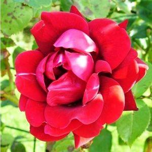Роза Nahelglut (Нахелглут)