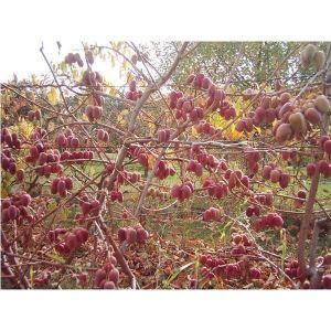 Актинидия Пурпурная садовая, женская