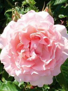 Роза Oxford (Оксфорд)