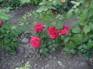 Роза Red Eden Rose (Ред Эден Роуз) 160-180 см Декоплант