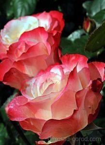 Роза Rose Guayard (Роуз Гуаяр)