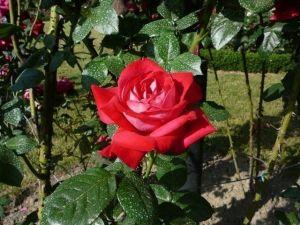Роза Pink Shampagn (Седая Дама)