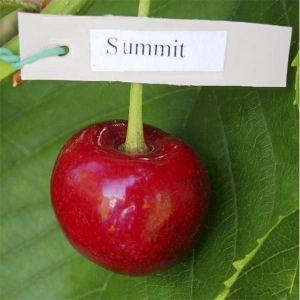 Черешня Саммит летняя