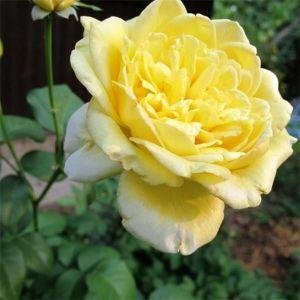 Описание и фото розы казино