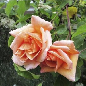 Роза Schoolgirl (Скулгел)