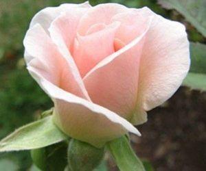 Роза Vivaldi (Вивальди)