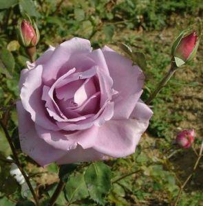 Роза Blue Moon Climbing (Блю Мун плетистый)