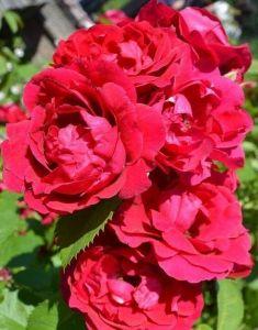 Роза Parfume de Moulin Rouge (Парфюм де Мулен Руж)