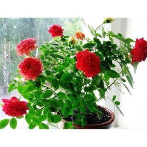 Удобрение Активин для роз