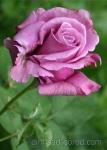 Роза Parfume de Romeo & Juliet (Парфум Ромео и Джульетта)