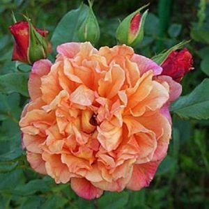 Роза Декоплант Aloha (Алоха), 200-250 см