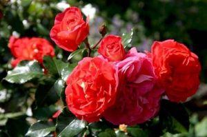 Роза Gebruder Grimm (Гебрюдер Гримм)