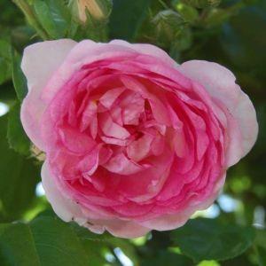 Роза Jasmina (Джасмина)