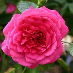 Роза лагуна фото и описание