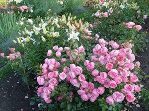 Роза Декоплант Pomponella (Помпонелла) 70-80 см