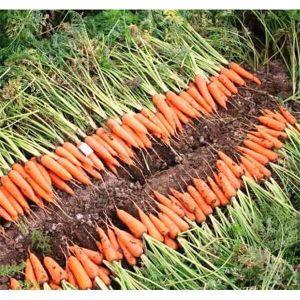 Морковь Абако F1
