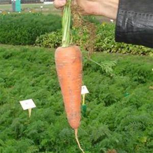 Морковь Карини F1