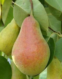 Груша Талгарская Красавица 2-х летняя голый корень