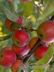 Яблоня Джонаголд, высокоурожайная