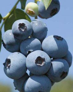 Черника садовая (голубика) Бриджита Блю, высокорослая