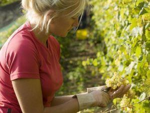 Ножницы Оазис, для сбора винограда и овощей