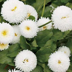Маргаритка Помпон белая
