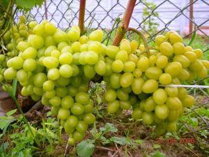 Виноград Аркадия, крупноплодный